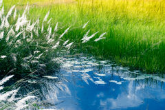 Kans grass , Saccharum spontaneum ,Kolkata, West Bengal, India Royalty Free Stock Photography
