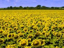 Kansas-Bauernhof-Feld mit dichter Ernte von hellen gelben Sonnenblumen Stockfotos