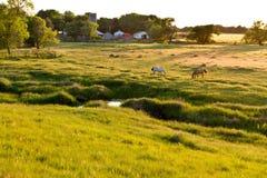 Kansas betar, betande hästar, solnedgång Royaltyfri Bild