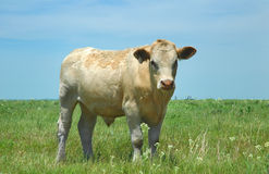 Kansas Cow Stock Photo