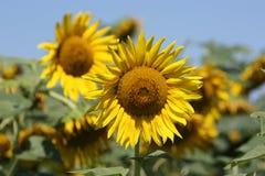 Kansas-Land-Sonnenblumennahaufnahme lizenzfreie stockbilder