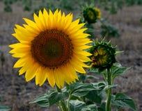 Kansas Sunflower. Brilliant sunflower in a Kansas prairie field Stock Images