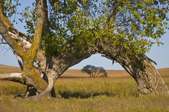Kansas Tallgrass Prairie Prairie Preserve Cottonwood Arch. This large Kansas Cottonwood tree, bent over to the ground by a possible traveler pointing a direction Royalty Free Stock Image