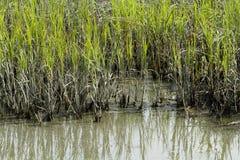 Kant av Cordgrass och gyttja i bräckt vatten Arkivfoton