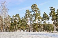 Kant av en pinjeskog i vinter arkivfoton
