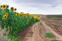 Kant av solrosfältet i sommar Fotografering för Bildbyråer