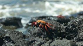 Kant op mening van een krab van Sally lightfoot op santa cruz eiland in de Galapagos stock videobeelden