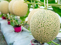 Kantaloepmeloenen die die in een serre groeien door koord wordt gesteund Royalty-vrije Stock Afbeelding