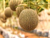 Kantaloepmeloenen die in een serre kweken die door koord wordt gesteund me Royalty-vrije Stock Afbeelding