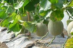 kantalup Świeży melon na drzewie zdjęcia royalty free