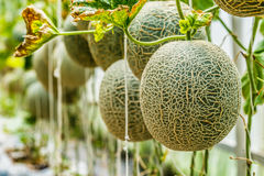 kantalup Świeży melon na drzewie Selekcyjna ostrość obrazy stock