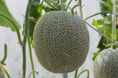 kantalup Świeży melon na drzewie Selekcyjna ostrość obrazy royalty free