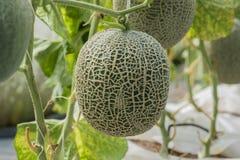 kantalup Świeży melon na drzewie Selekcyjna ostrość zdjęcia royalty free