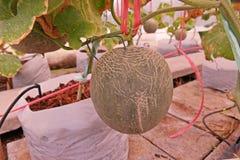 Kantalup lub muskmelon, owocowa Cucurbitaceae rodzina zdjęcia royalty free