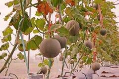 Kantalup lub muskmelon, owocowa Cucurbitaceae rodzina zdjęcia stock