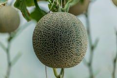Kantalupa Świeży melon na drzewie Selekcyjna ostrość zdjęcia royalty free