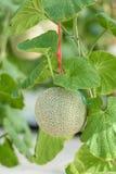 Kantalupe oder grüne Melone, die in einem Gewächshausbauernhof wachsen Stockbild