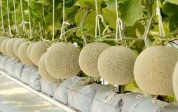 Kantalupenmelone, die in einem Gewächshaus wächst Lizenzfreie Stockfotografie