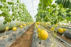 Kantalupenmelone, die im Gewächshaus wächst lizenzfreie stockfotografie