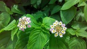 Kantaru kwiat Obrazy Stock