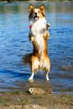 Kantcollie som leker i vattnet Royaltyfria Bilder