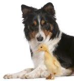 KantCollie som leker med ducklingen, 1 gammala vecka Royaltyfri Bild