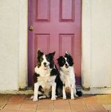 kantcollies Royaltyfria Bilder