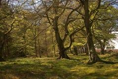 Kanten av den gamla skogen nära Greenlaw, skotte gränsar Royaltyfria Foton