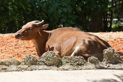 Kanteng, a wild cattle from Southeast Asia Stock Photos