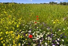 kantfältet blommar wild vete arkivfoton