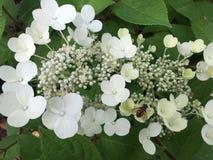 Kantglb hydrangea hortensia Stock Afbeeldingen