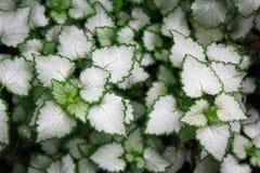 kantgreen låter vara växter white Royaltyfri Bild