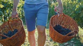 Kantjustera videoen av vinedresseren som går på vingården med två korgar av druvor i händer stock video