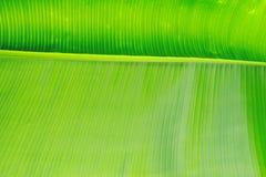 Kantjusterad bild för slut upp av bananpalmbladet med den synliga texturstrukturen Grön naturbegreppsbakgrund arkivbild