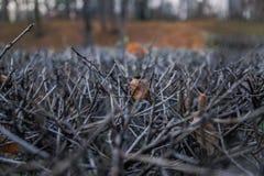 Kantjusterad buske Arkivbild