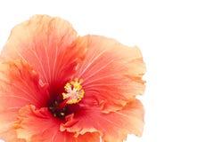 Kantjusterad hibiskus Fotografering för Bildbyråer
