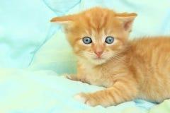 Kantjusterat skott av den gulliga röda kattungen Royaltyfria Foton