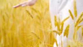 Kantjusterat skott av den unga kvinnan som går på vetefält och trycker på mogna veteöron arkivfilmer