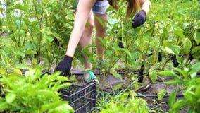 Kantjusterat skott av den unga kvinnan som skördar aubergine i grönsakträdgård arkivfilmer