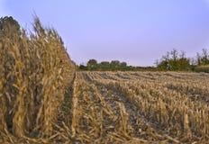 kantjusterat vete för fält delvist royaltyfri foto