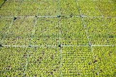Kantjustering av grönsallat Royaltyfri Bild