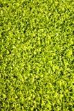 Kantjustering av grönsallat Royaltyfria Foton