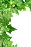 kantmurgröna Royaltyfri Bild