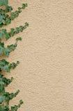 kantmurgröna Arkivbild