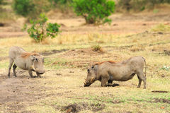 Kanya - Wild Boar Royalty Free Stock Image