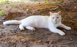 Kao manee cat,Thai white cat with two color of eyes Stock Photography
