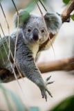 Kaola s'est reposé sur un arbre image libre de droits