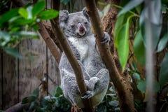 Kaola stand auf einem Baum still lizenzfreies stockbild