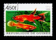Kap卢佩茨(Aphyosemion australe),鱼serie,大约1998年 库存图片