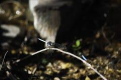 Kap-Abstreicheisen-Libelle orthetrum Julia-capicola hockte auf einem Stamm Lizenzfreies Stockbild